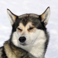 Собака Рябка